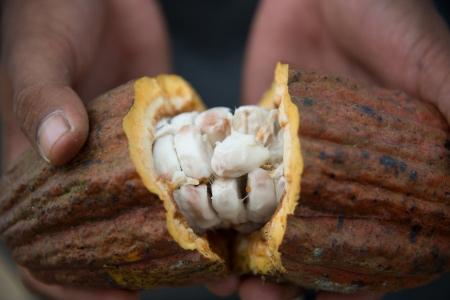 plantation cacao disparait