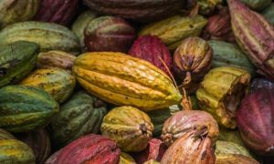 Cacao ivoirien: Suppression des taxes