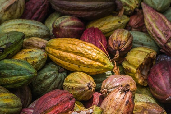 Cacao ivoirien: Suppression des taxes