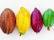 Le prix d'achat du cacao en Côte d'Ivoire désormais fixé à 700 FCFA