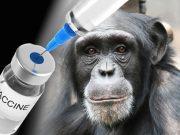 Ebola : un nouveau vaccin pour protéger le chimpanzé du virus mortel