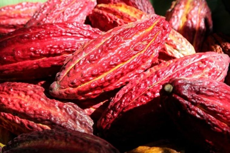 Ferme de cacao en Côte d'Ivoire