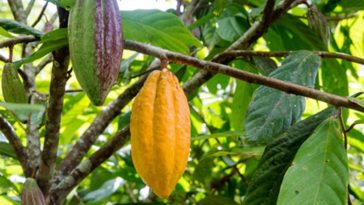 Production cacao Côte d'Ivoire