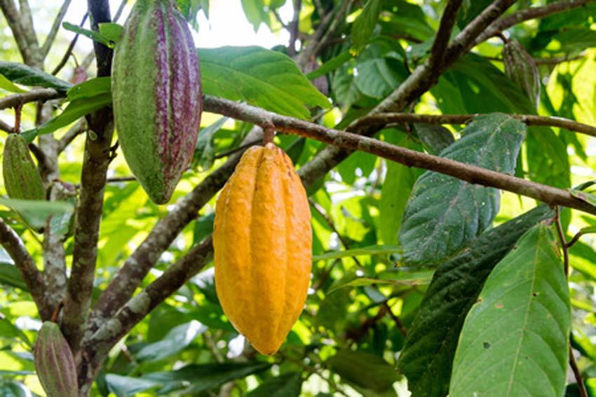 Production cacao Côte d'Ivoire