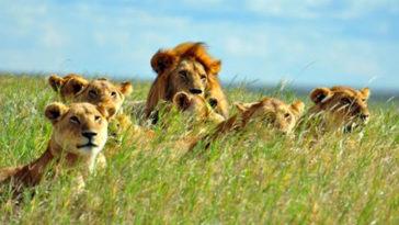Braconnier Dévoré par des lions